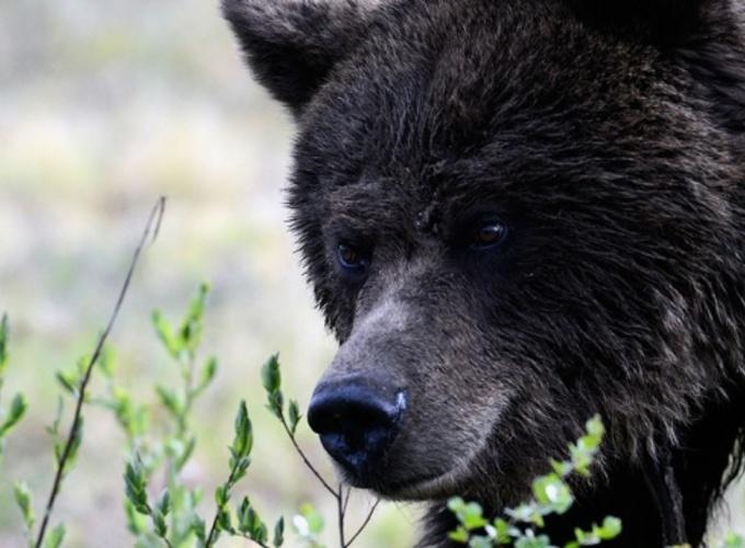 На север Московской области вернулись медведи