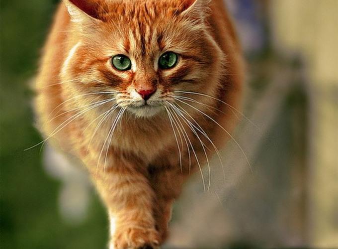 Физиологические нормы показателей крови для кошек