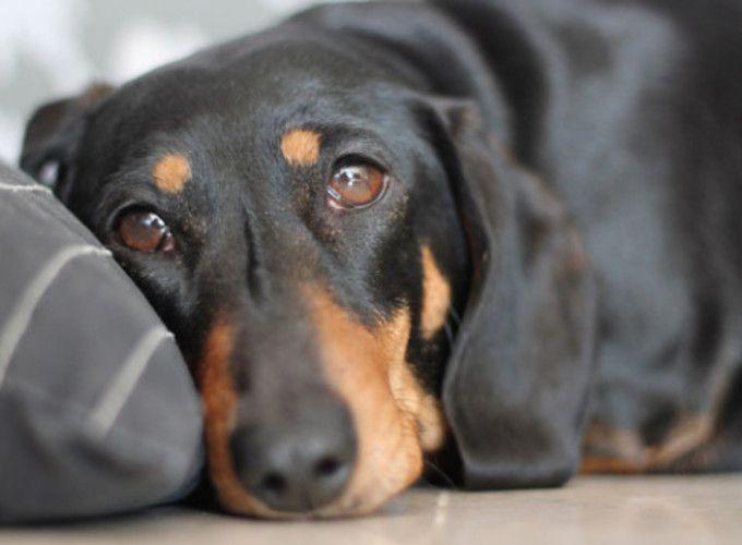 Депрессия у собак: причины и лечение