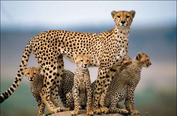 Ученые СПбГУ впервые собрали геном гепарда
