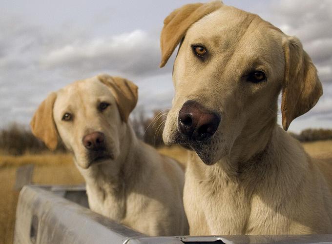 Собаки умеют подражать друг другу