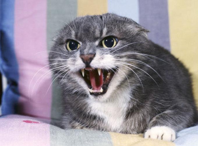 Если домашняя кошка проявляет агрессию