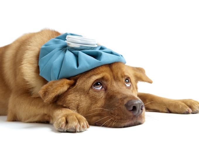 Свиной грипп опасен для домашних питомцев