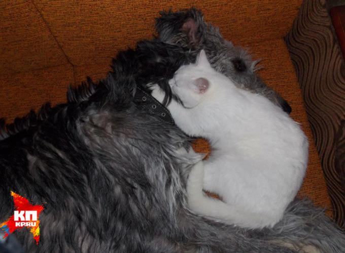 В Ижевске волкодав Зиля вырастил котёнка, который потерял маму