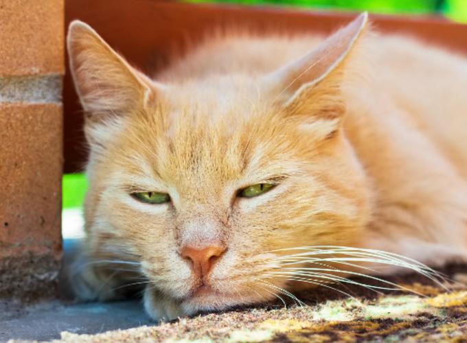 У кошки пропал голос – причины и лечение