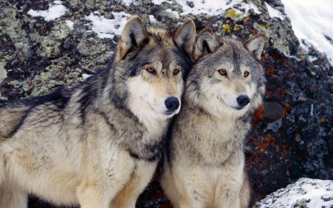 Волки и собаки говорят на разных «диалектах»