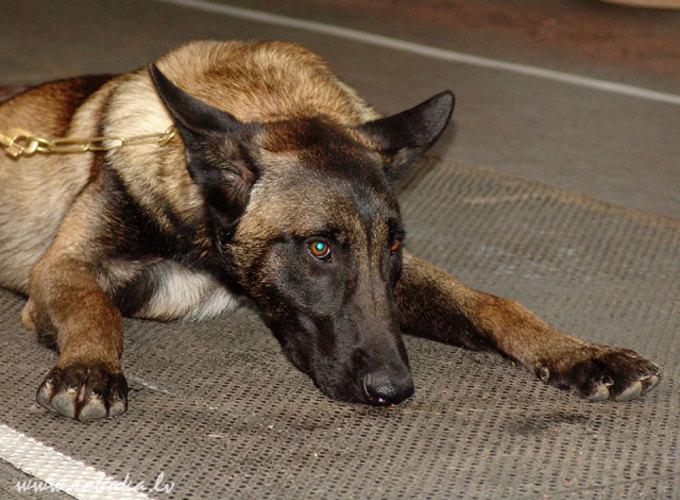 Служебные собаки и посттравмати-ческий синдром