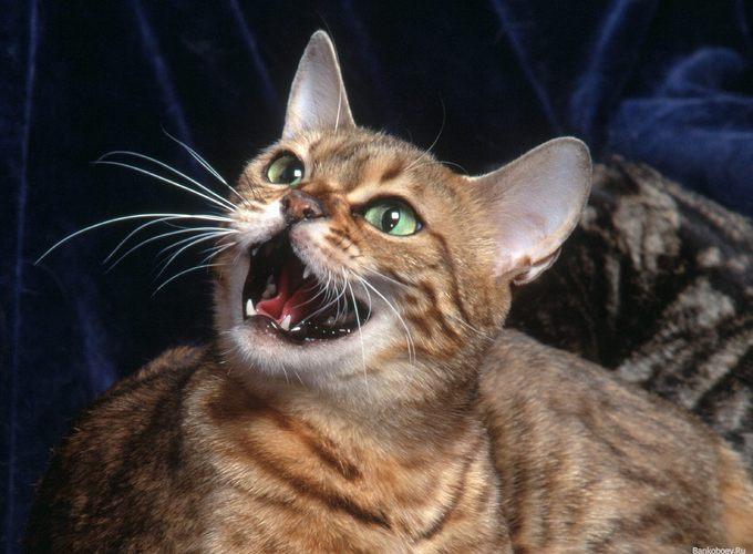 Учёные расшифруют язык кошек