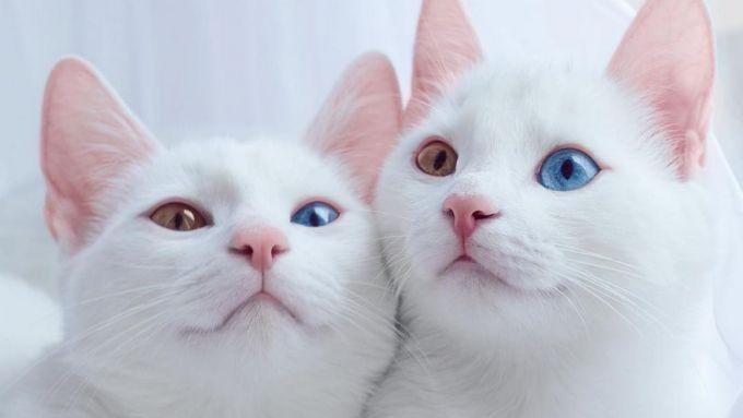 Почему у животных бывают глаза разного цвета