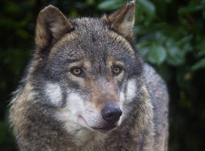 Волки оказались самостоятельнее домашних собак