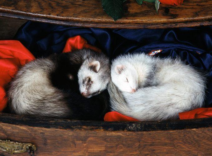 Самые маленькие домашние животные (млекопитающие)